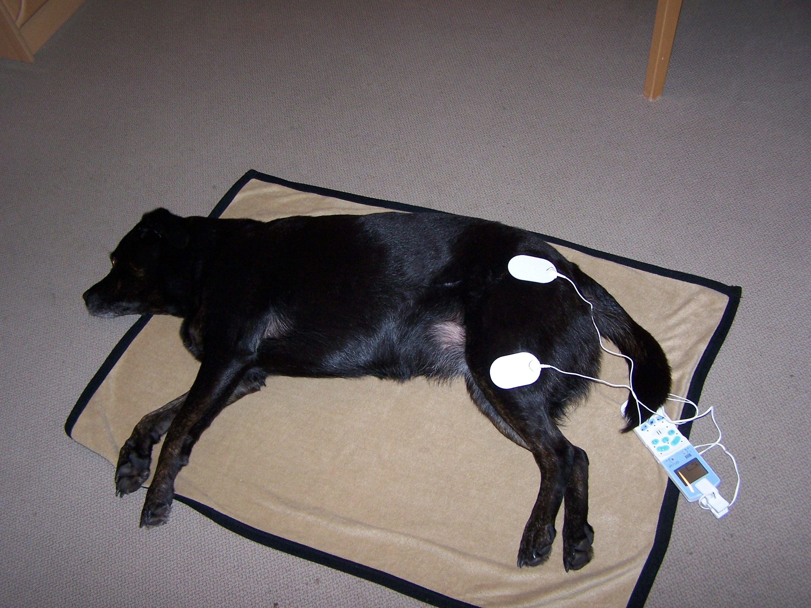 Elektrotherapie TENS für Hunde
